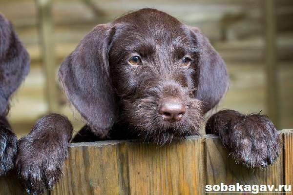 Дратхаар-собака-Описание-особенности-уход-и-цена-дратхаара-3