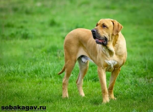 Фила-бразилейро-собака-Описание-особенности-уход-и-цена-породы-1