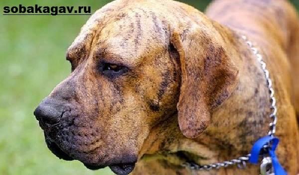 Фила-бразилейро-собака-Описание-особенности-уход-и-цена-породы-2