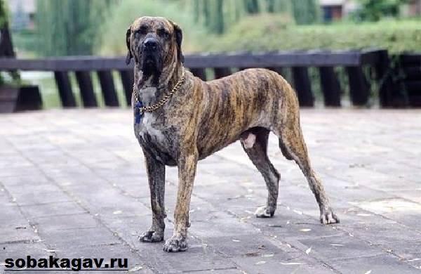 Фила-бразилейро-собака-Описание-особенности-уход-и-цена-породы-3