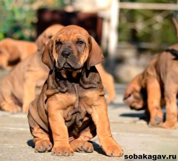 Фила-бразилейро-собака-Описание-особенности-уход-и-цена-породы-4