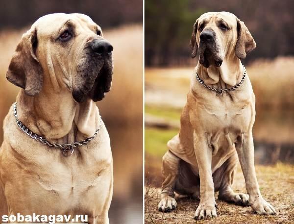 Фила-бразилейро-собака-Описание-особенности-уход-и-цена-породы-5