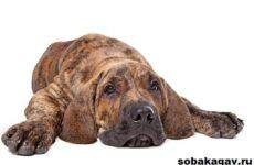 Фила бразилейро собака. Описание, особенности, уход и цена породы