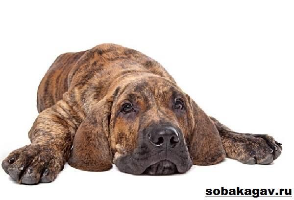 Фила-бразилейро-собака-Описание-особенности-уход-и-цена-породы-7