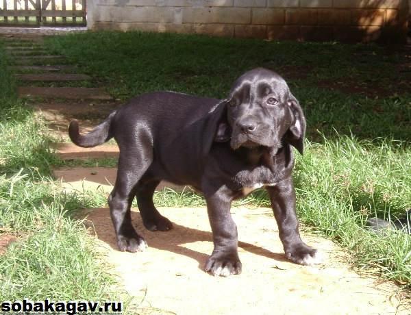 Фила-бразилейро-собака-Описание-особенности-уход-и-цена-породы-9