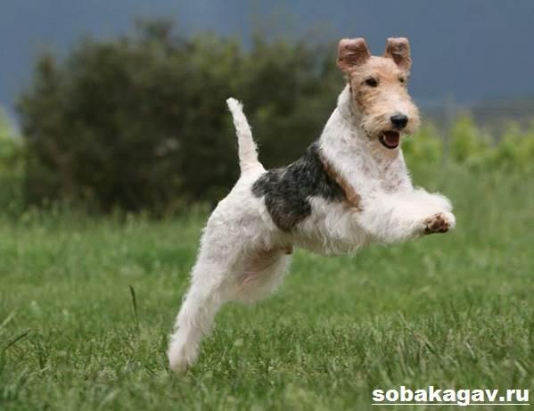Фокстерьер-собака-Описание-особенности-уход-и-цена-фокстерьера-1