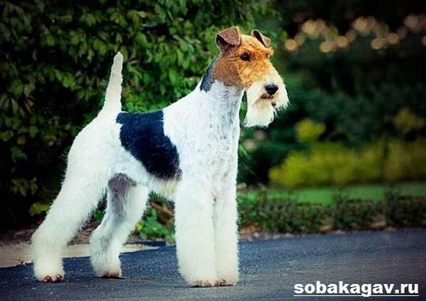 Фокстерьер-собака-Описание-особенности-уход-и-цена-фокстерьера-10