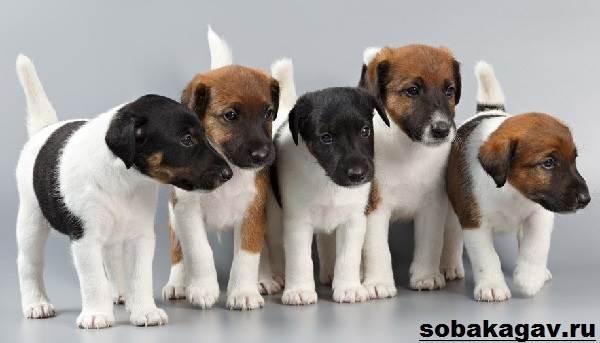 Фокстерьер-собака-Описание-особенности-уход-и-цена-фокстерьера-11
