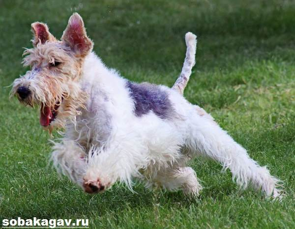 Фокстерьер-собака-Описание-особенности-уход-и-цена-фокстерьера-2