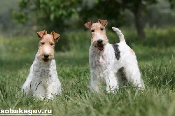 Фокстерьер-собака-Описание-особенности-уход-и-цена-фокстерьера-3