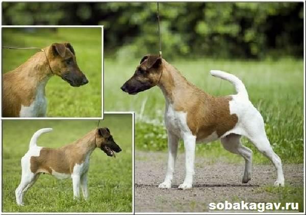 Фокстерьер-собака-Описание-особенности-уход-и-цена-фокстерьера-5