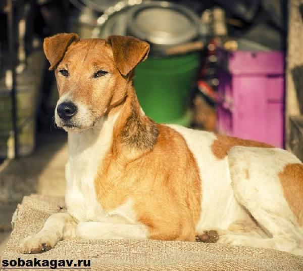 Фокстерьер-собака-Описание-особенности-уход-и-цена-фокстерьера-6