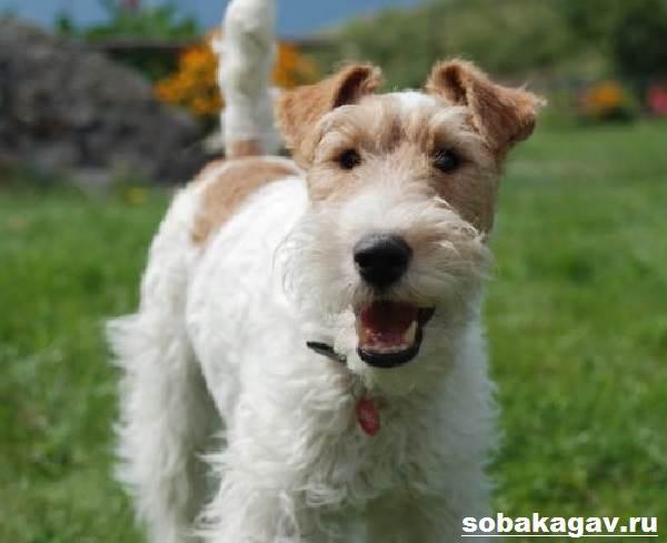 Фокстерьер-собака-Описание-особенности-уход-и-цена-фокстерьера-7