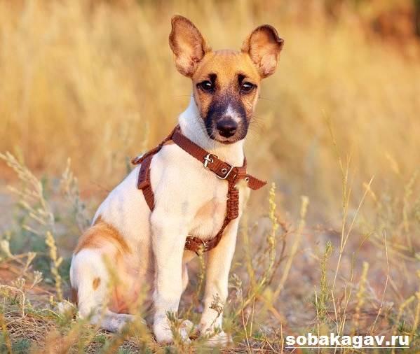 Фокстерьер-собака-Описание-особенности-уход-и-цена-фокстерьера-8