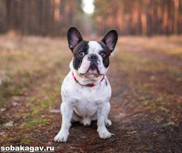 Французский-бульдог-собака-Описание-особенности-уход-и-цена-французского-бульдога-2