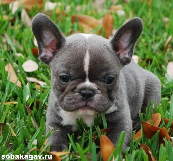 Французский-бульдог-собака-Описание-особенности-уход-и-цена-французского-бульдога-6
