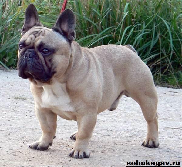 Французский-бульдог-собака-Описание-особенности-уход-и-цена-французского-бульдога-7