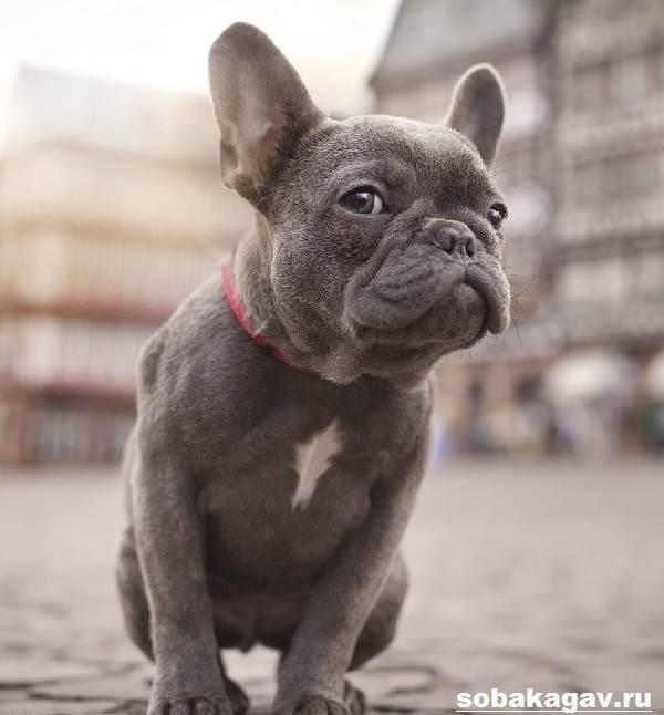 Французский-бульдог-собака-Описание-особенности-уход-и-цена-французского-бульдога-8