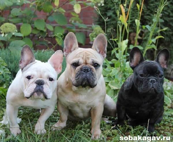 Французский-бульдог-собака-Описание-особенности-уход-и-цена-французского-бульдога-9