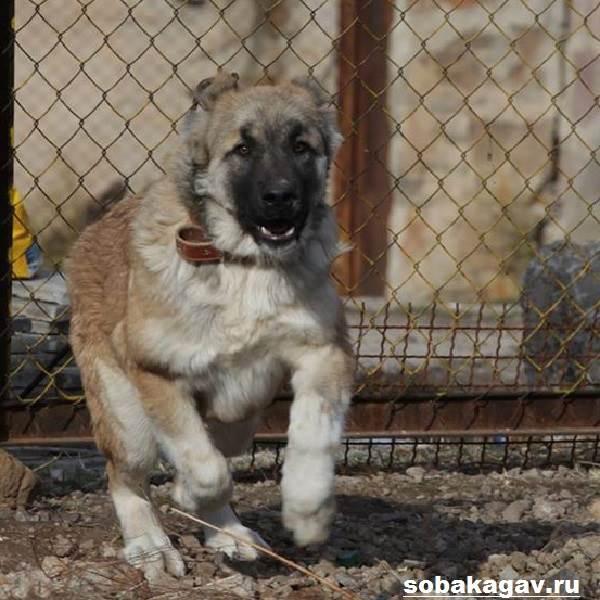 Гампр-армянский-волкодав-собака-Описание-особенности-уход-и-цена-гампра-4