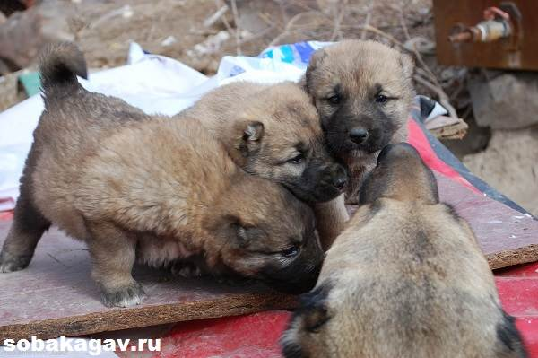 Гампр-армянский-волкодав-собака-Описание-особенности-уход-и-цена-гампра-9