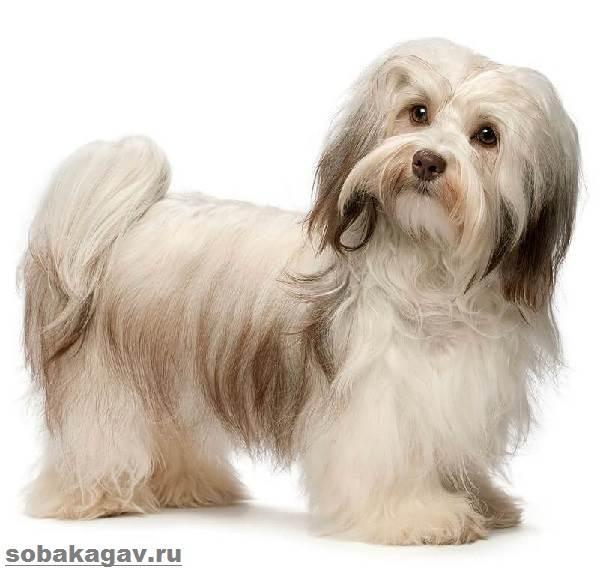 Гаванский-бишон-собака-Описание-особенности-уход-и-цена-гаванского-бишона-1