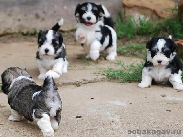Гаванский-бишон-собака-Описание-особенности-уход-и-цена-гаванского-бишона-10