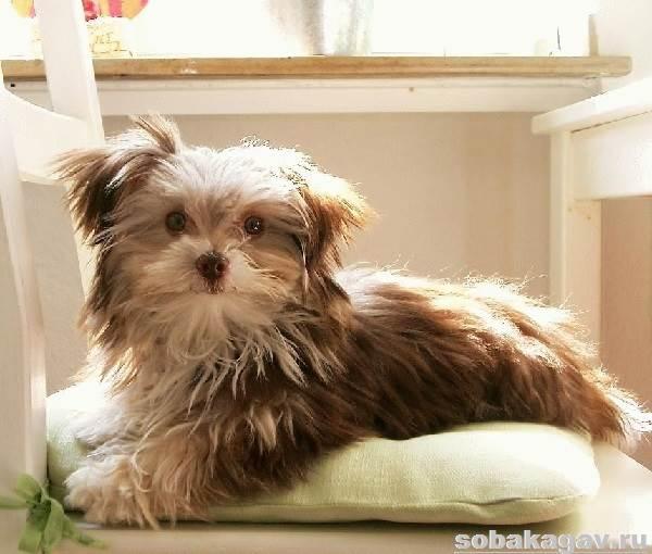 Гаванский-бишон-собака-Описание-особенности-уход-и-цена-гаванского-бишона-2