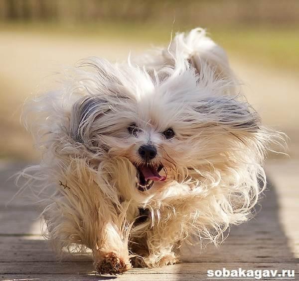 Гаванский-бишон-собака-Описание-особенности-уход-и-цена-гаванского-бишона-3
