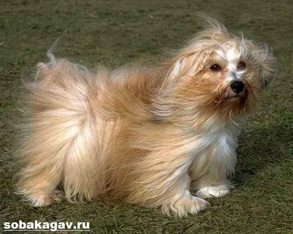 Гаванский-бишон-собака-Описание-особенности-уход-и-цена-гаванского-бишона-4