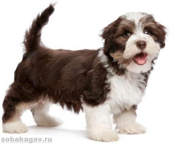 Гаванский-бишон-собака-Описание-особенности-уход-и-цена-гаванского-бишона-5
