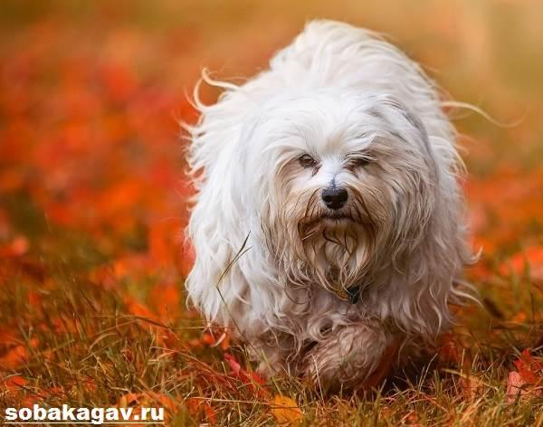 Гаванский-бишон-собака-Описание-особенности-уход-и-цена-гаванского-бишона-6