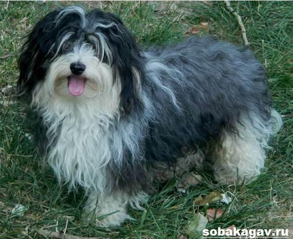 Гаванский-бишон-собака-Описание-особенности-уход-и-цена-гаванского-бишона-7