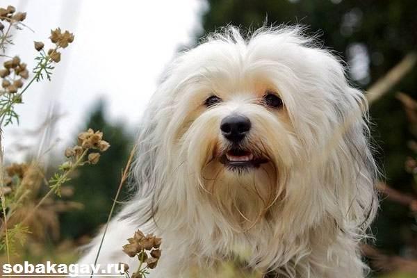 Гаванский-бишон-собака-Описание-особенности-уход-и-цена-гаванского-бишона-8