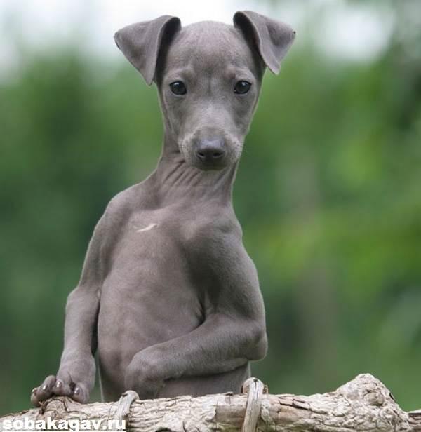 Грейхаунд-собака-Описание-особенности-уход-и-цена-грейхаунда-11