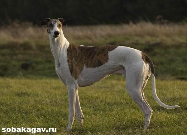 Грейхаунд-собака-Описание-особенности-уход-и-цена-грейхаунда-2