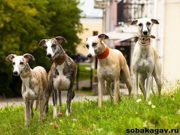 Грейхаунд-собака-Описание-особенности-уход-и-цена-грейхаунда-3