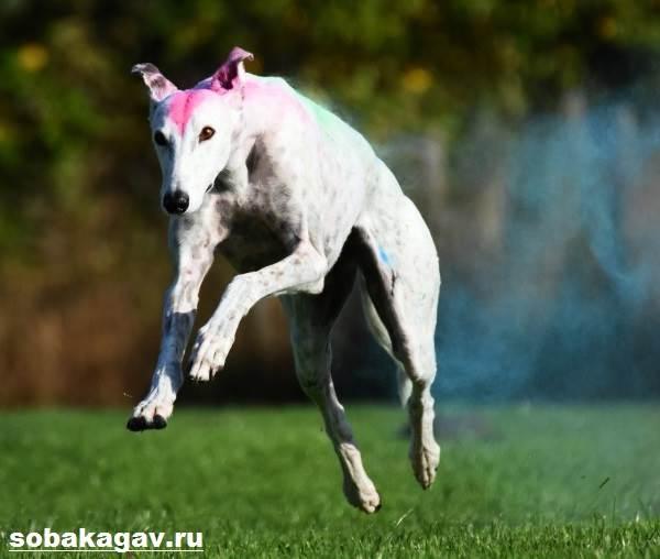 Грейхаунд-собака-Описание-особенности-уход-и-цена-грейхаунда-4