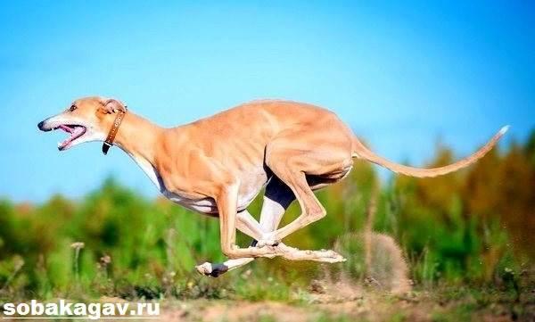 Грейхаунд-собака-Описание-особенности-уход-и-цена-грейхаунда-6