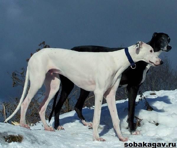 Грейхаунд-собака-Описание-особенности-уход-и-цена-грейхаунда-9