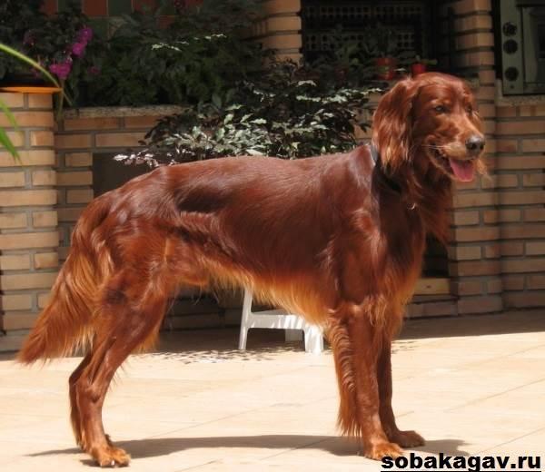 Ирландский-сеттер-собака-Описание-особенности-уход-и-цена-ирландского-сеттера-11