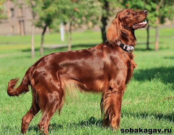 Ирландский-сеттер-собака-Описание-особенности-уход-и-цена-ирландского-сеттера-2