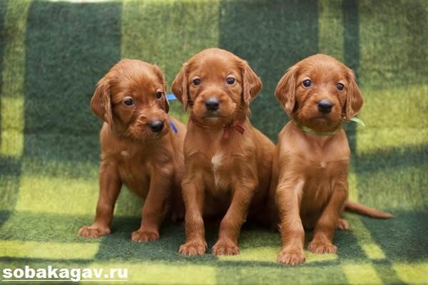 Ирландский-сеттер-собака-Описание-особенности-уход-и-цена-ирландского-сеттера-3