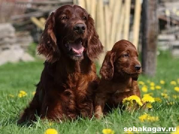 Ирландский-сеттер-собака-Описание-особенности-уход-и-цена-ирландского-сеттера-8