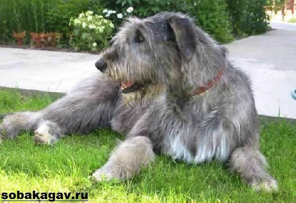 Ирландский-волкодав-собака-Описание-особенности-уход-и-цена-породы-1