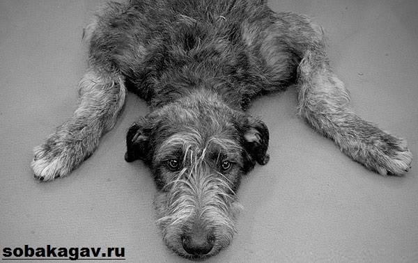 Ирландский-волкодав-собака-Описание-особенности-уход-и-цена-породы-10