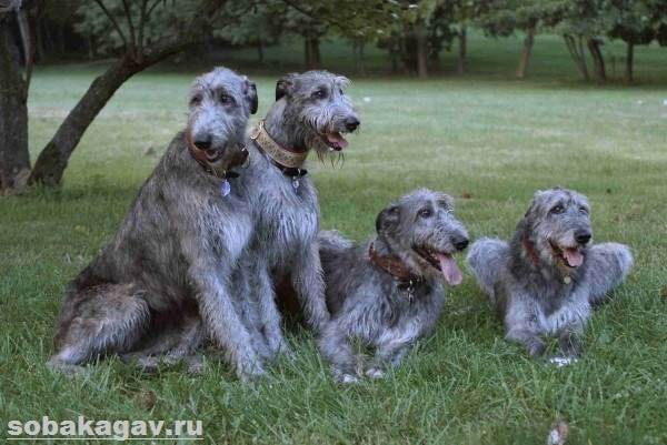 Ирландский-волкодав-собака-Описание-особенности-уход-и-цена-породы-2