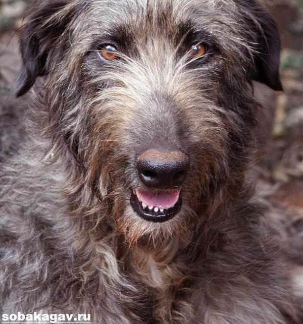 Ирландский-волкодав-собака-Описание-особенности-уход-и-цена-породы-4