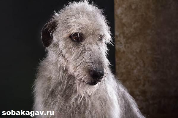 Ирландский-волкодав-собака-Описание-особенности-уход-и-цена-породы-8