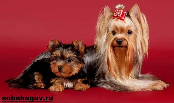 Йоркширский-терьер-собака-Описание-особенности-уход-и-цена-йоркширского-терьера-1